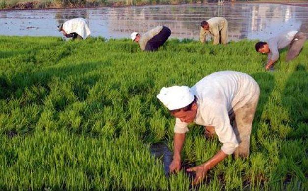 الحكومة تتخلص من زراعة الأرز