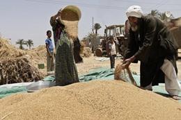 مخاوف من تكرار سيناريو «فساد القمح»
