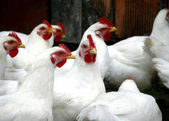 دجاج للإيجار في أمريكا
