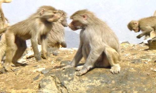 """{نشرة أخبار المهروشة}.. """"كفر القرود !!"""""""