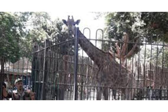 """صورة حديقة الحيوان تعلن السبب الحقيقي وراء وفاة عريس """" الزرافة سوسن """""""