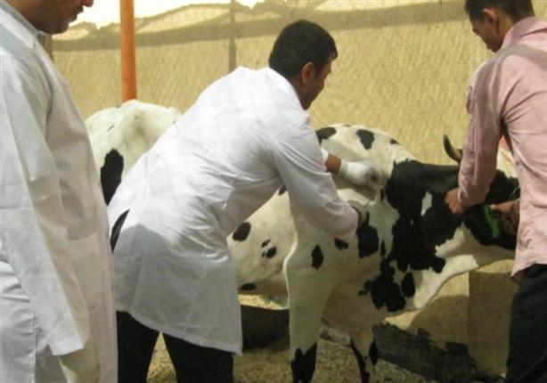 تحصين رؤوس الماشية ضد الحمى القلاعية بالبحيرة